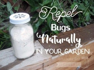 Ball Mason jar garden bug repellent with daisy lid and diatomaceous earth