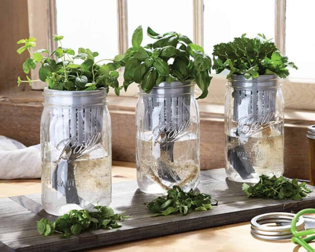 ball-herb-growing-kit-basil-parsley-oregano-wide-mouth-quart-mason-jars