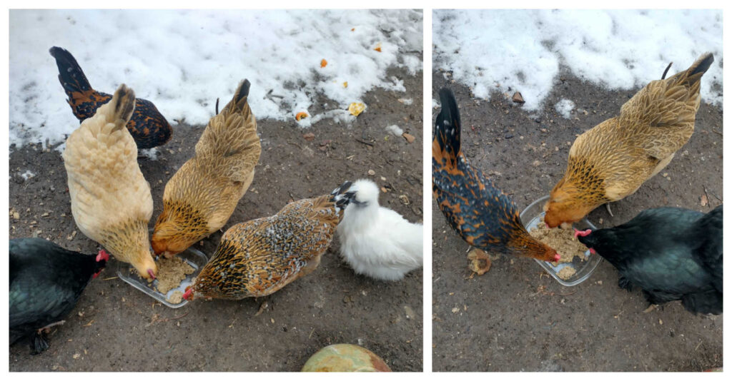 mason-jar-lifestyle-fermented-chicken-feed-backyard-hens-urban-farming-organic-probiotic-homemade-diy-make-your-own-helseth-kids