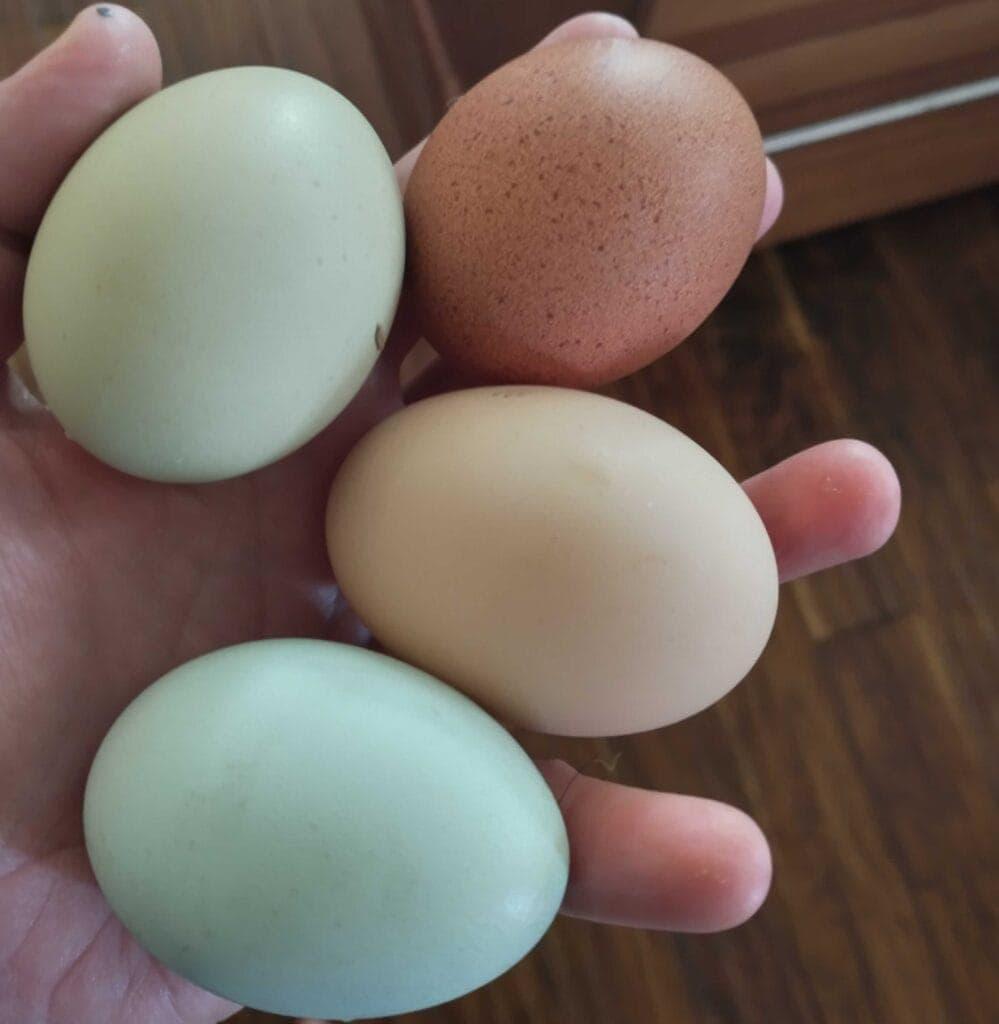 mason-jar-lifestyle-fermented-chicken-feed-backyard-hens-urban-farming-probiotics-organic-eggs